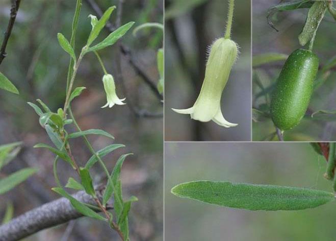Common Appleberry