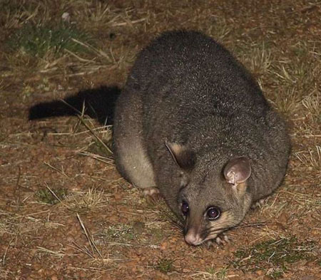 Common-Brushtail-Possum