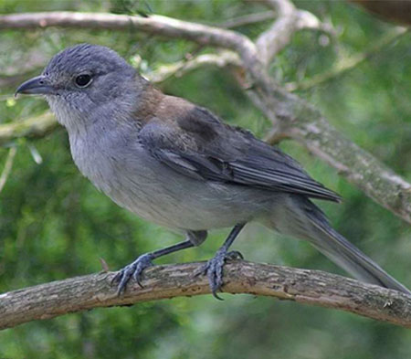 Grey-Shrike-Thrush
