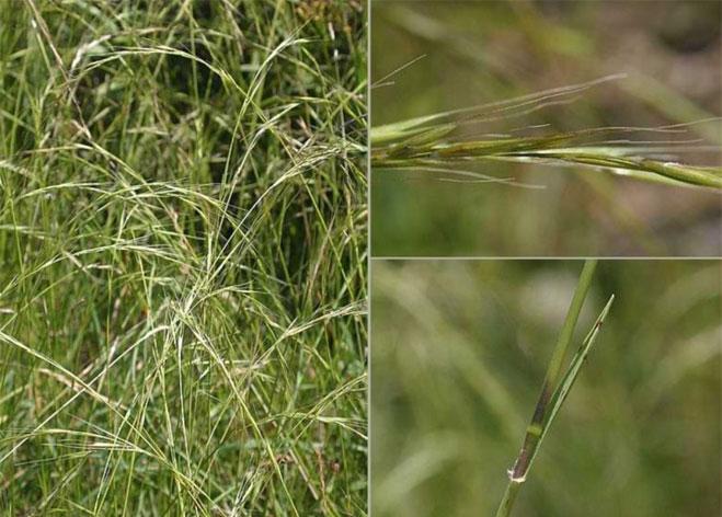 Weeping Grass