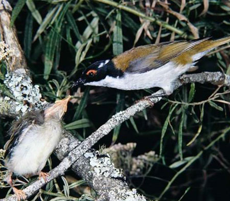 White-naped-Honeyeater