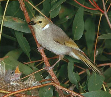 White-plumed-Honeyeater