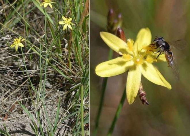 Yellow-Rush-Lily