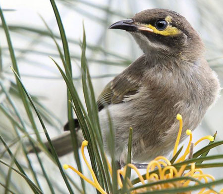 Yellow-faced-Honeyeater