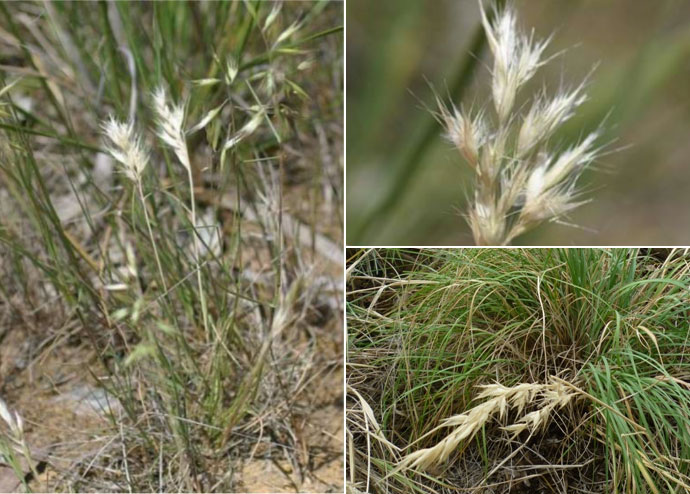 wallaby grass